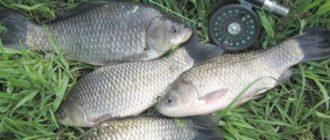 Как поймать карася и вернуться с рыбалки с неплохим уловом