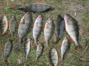 Как и где поймать окуня в озере и водохранилищах