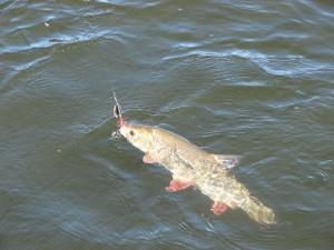 ловля язя реке