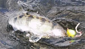 Ловля трофейного судака в больших реках