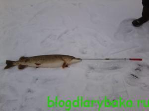 Ловля крупной щуки зимой на жерлицы