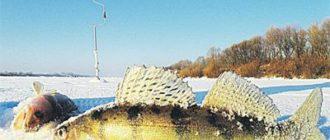 Ловля судака зимой на оке
