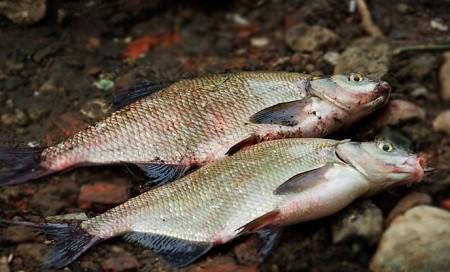 Как ловить леща осенью: Важные советы для увеличения улова