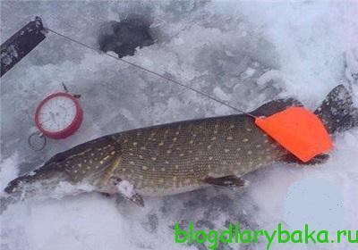 Как правильно ловить щуку зимой на жерлицы