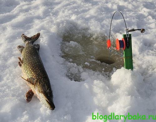 Как правильно ловить донную щуку зимой на жерлицы
