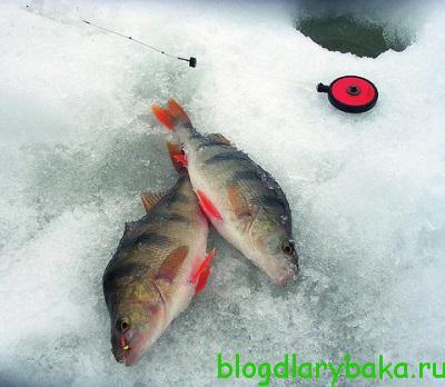 Ловля окуня зимой на безмотылку