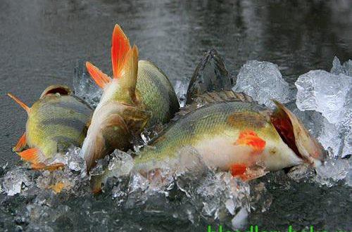 Как ловить крупного окуня зимой ловля окуня зимой