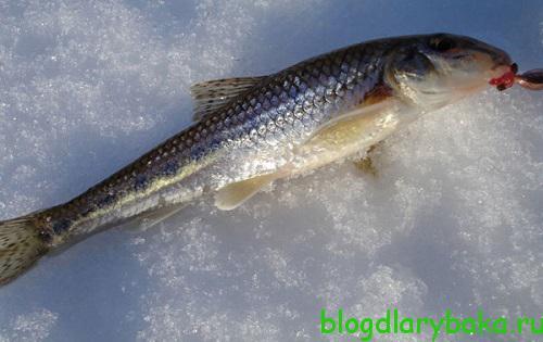Как поймать пескаря в зимнее время осваиваем ловлю пескаря зимой