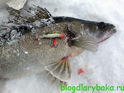 Как выбрать балансир для ловли судака зимой