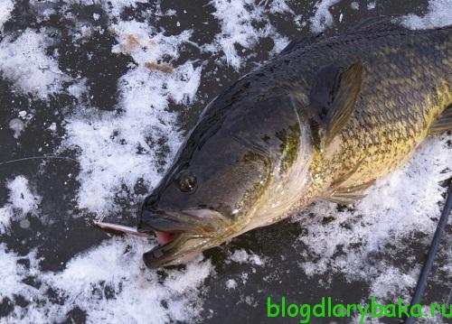 Ловля крупного ротана зимой
