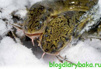 Ловля налима зимой на реке
