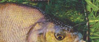 Ловля крупного леща на фидер в реке: Выбор снасти кормушки и тактика ловли леща