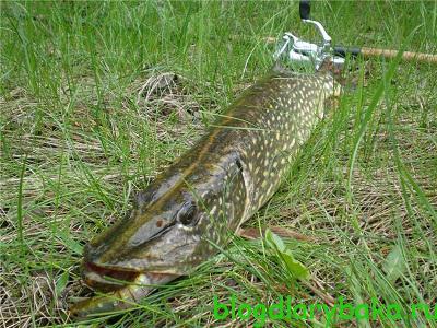 Снасти и приманки для ловли щуки нахлыстом