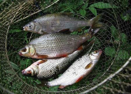 Ловля плотвы на малых реках