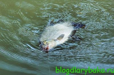 ловля леща в июне на озере