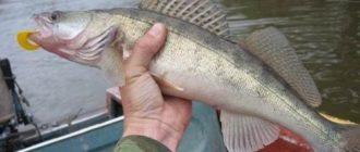 Где осенью ловить судака на реке советы рекомендации