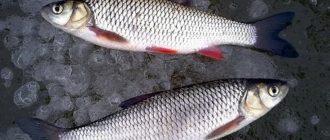 Как поймать голавля зимой на мормышку