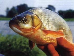Места ловли и прикармливание язя в больших реках